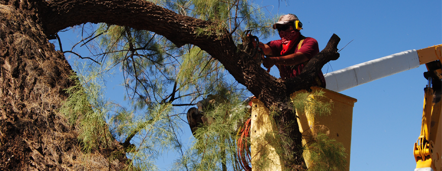 Tree Trimming Tucson Picture